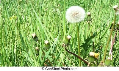 White dandelion on green - White dandelion head blowball on...