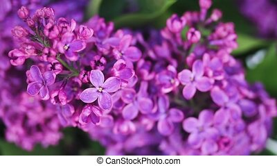 Lilac flowers close up - Lilac fresh flowers twig moving on...
