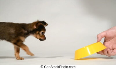 Puppy toy terrier eats from a bowl.