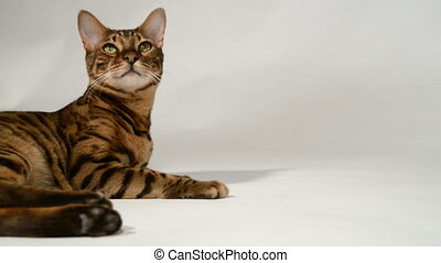 Bengal cat is playing on a white background.