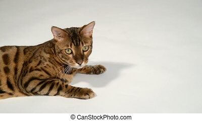 Bengal cat on a white background. He lies, rests from the...