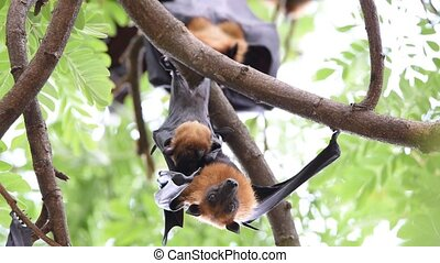 Bat (Flying fox) hanging on a tree - Bat (Lyle's flying fox,...