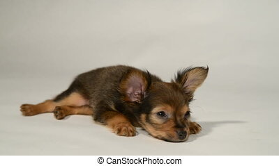 Puppy toy terrier is on a white background.