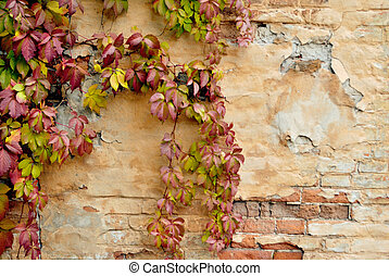 wall with wild vine in autumn - The blank wall of old...