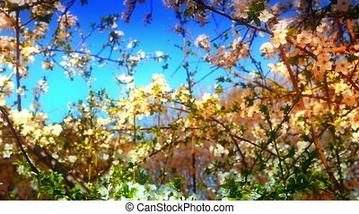 Spring blossom tree with flowers