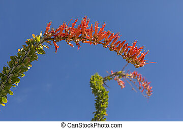 Ocotillo blooming in spring - Anza-Borrego State Park -...
