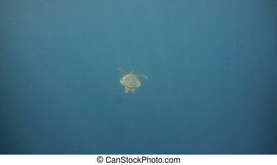 Sea turtle under water. - Sea turtle swimming underwater in...