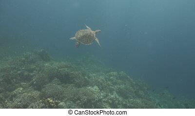 Sea turtle under water. - Sea turtle swimming underwater...