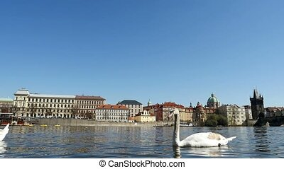 Gracious white swans swimming on the surface of the Vltava river in slo-mo