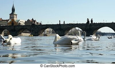 Flock of noble white swans swimming near the Charles bridge in Prague in slo-mo