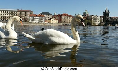 Two swans are swimming together and one of them attacks a brazen duck in slo-mo