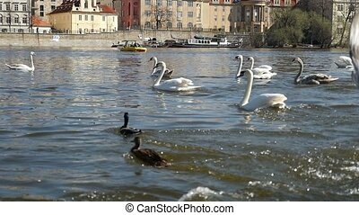 One white swan drives the second one away on a river bank in Prague in slo-mo