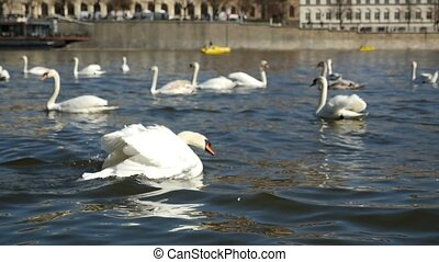 Several swans trying to take off from the river surface in Prague in slow motion
