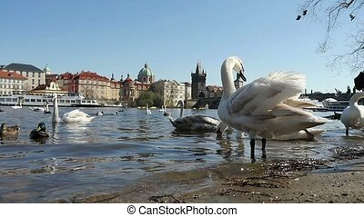 A flock of doves flying over swans and ducks on the Vltava...