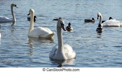 Several splendid white swans swimming peacefully among ducks...