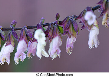 Salvia Mexicana - macro - Macro shot Salvia is genus of...