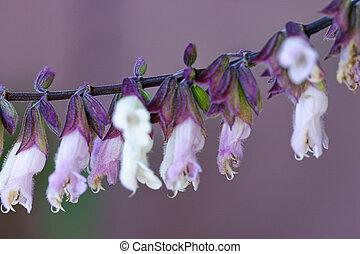 Salvia Mexicana - macro - Macro shot. Salvia is genus of...