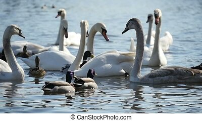 Five white swans swimming graciously on the calm waters of...