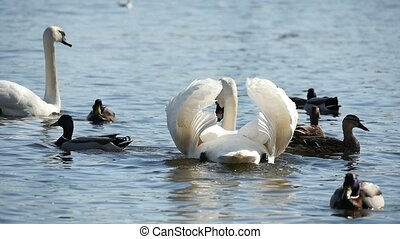 Several white swans swimming on the river surface in a sunny day in slow motion