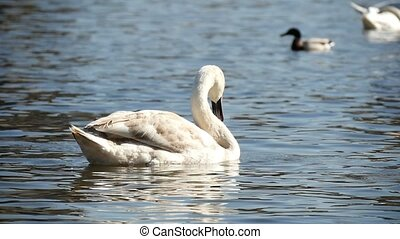 White swan is waving its head in a funny way on a river surface in slow motion