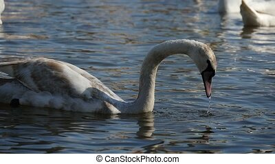 White swan plunges its head in river water seeking fish in a...