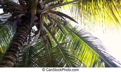 palm tree with coconuts, view from below