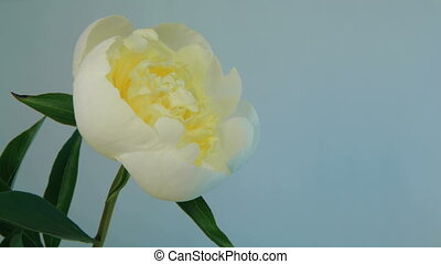 Flowering of White Peony - Isolated white flower blooming...