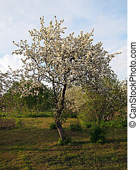 Photo of a blossoming apple tree