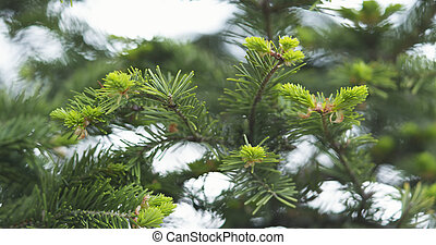 young abies branches in spring day, wide photo