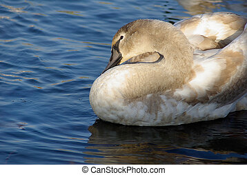 Graceful young swan