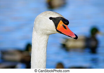White swan head