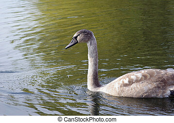 Young swan in pond