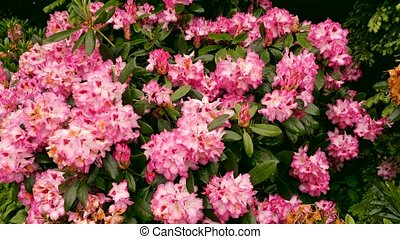 A bush with pink flowers.. The camera moves back on the...