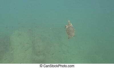 Turtle ascending to surface - Detailed view of turtle diving...