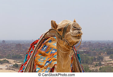 camel against cityscape of Cairo - close up of camel against...