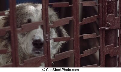 Beautiful big dog sitting at the metal cage and sadness...