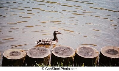 Riverside. Two ducks swiming in the lake in summer day near...