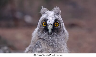 Owl with mirror yellow eyes watching the prey, quietly and...