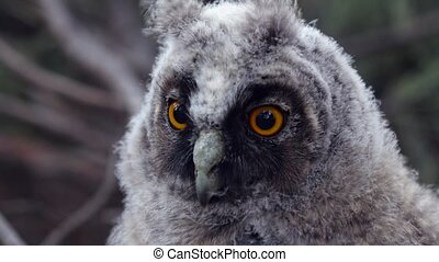Owl sits on a tree branch and looks into the distance, and...