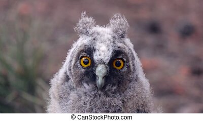 Gray owl with beautiful eyes look forward without taking a...