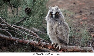Owl sits on a branch of a pine tree she looks into the...