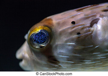 Spiny porcupinefish Diodon holocanthus has eyes that sparkle...
