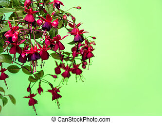 blooming hanging branch in shades of dark red fuchsia on...