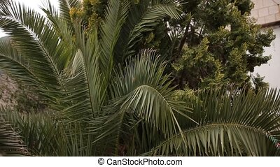 Date tree in Montenegro - Palm tree. Date tree in Montenegro