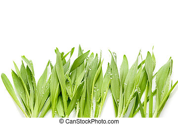 Young barley grass. - Young barley grass isolated on white...