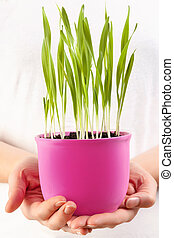 Growing organic barle grass. - Female hands holding a...