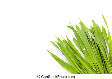 Young barley grass. - Young barley grass with copyspace...