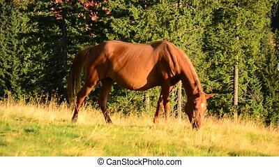 Closeup of brown mare grazing on pasture in late summer on...