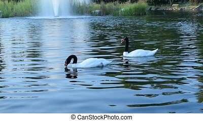 Thow gracious black necked swans and ruddy shelducks in pond...