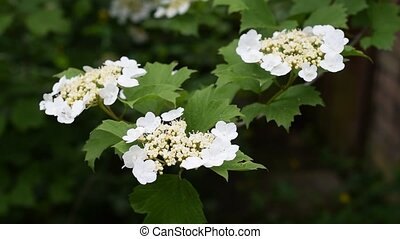 Arrowwood bush blooming in spring with partly unfolded...